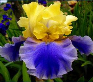 Iris-2